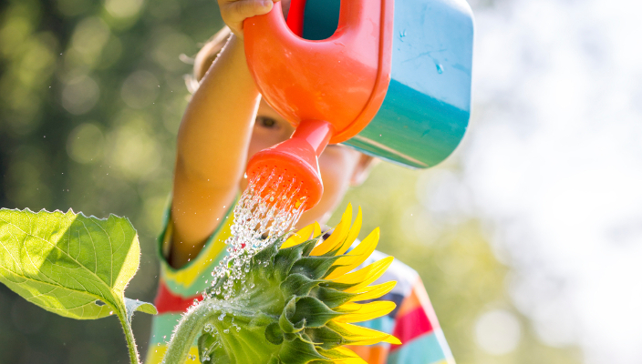 Young child sitting on the shoulder of a parent watering a sunflower from a bright red plastic water can on a hot sunny summer day.