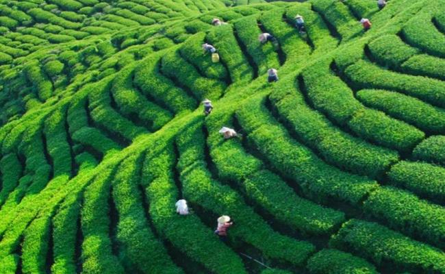 whittard tea field